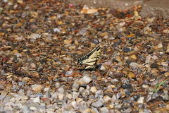 A monarch butterfly. Landed on the wet gravel showing off his yellow wings Stock Photography