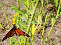 Butterflies and wildflowers. Monarch butterfly landed on a yellow wildflower and caterpillar stock photos