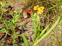 Butterflies and wildflowers. Monarch butterfly landed on a yellow wildflower and caterpillar royalty free stock image