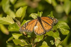 The monarch butterfly sitting on the bush. The monarch butterfly landing on the bush displaying it`s impressive and beautiful orange and black wings in the royalty free stock image