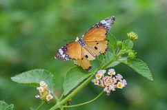 Monarch Butterfly on Lantana Camara Flower. Closeup of Monarch Butterfly on Lantana Camara Flower stock photography