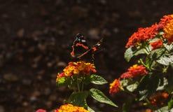 Monarch Butterfly on a Lantana Flower. A Monarch Butterfly resting on a Lantana Flower stock image