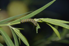Monarch Butterfly Larvae. On a swan plant royalty free stock photography