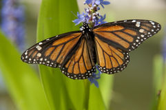 Monarch Butterfly on Lavender. Flower in Austin, Texas Stock Photography