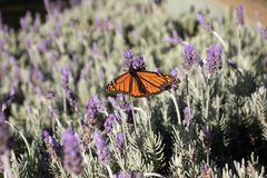 Monarch butterfly on lavender flowers. Orange Monarch Butterfly drinking nectar in a field of lavender flowers stock photography