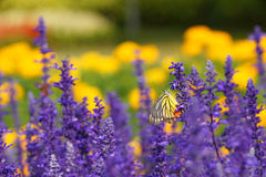 Monarch Butterfly on the Lavender in Garden Stock Photos