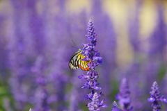 Monarch Butterfly on the Lavender in Garden Stock Photography