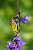 Monarch Butterfly on the Lavender in Garden Royalty Free Stock Photos