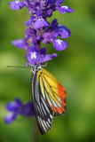 Monarch Butterfly on the Lavender in Garden Stock Photo