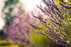 Monarch Butterfly on the Lavender in Garden Stock Images