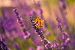 Monarch Butterfly on the Lavender in Garden Royalty Free Stock Images