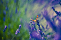 Monarch Butterfly on the Lavender in Garden Royalty Free Stock Photography