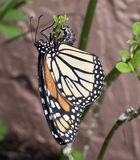 Monarch Butterfly Laying Eggs. Monarch butterfly with orange, black, yellow, and white markings is laying her eggs on a milkweed plant against a blurred tan royalty free stock photography