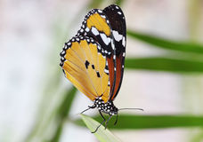 Monarch butterfly on leaf. Monarch butterfly sitting on leaf Royalty Free Stock Photos