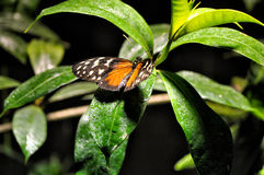 A Monarch Butterfly. On a Leaf Royalty Free Stock Images
