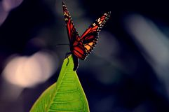 Monarch butterfly on a leaf. A closeup of a Monarch butterfly landing on an edge of a leaf stock photography