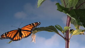 Monarch butterfly on leaf stock video footage