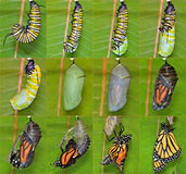 Monarch Butterfly life cycle (Danaus plexippus) stock images