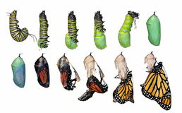 Monarch Butterfly life cycle (Danaus plexippus). A complete twelve- step Monarch Butterfly metamorphosis isolated on a white background capturing this Stock Images