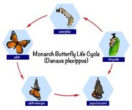 Monarch butterfly life cycle vector illustration