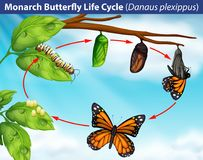 Monarch butterfly life cycle royalty free illustration