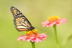 Monarch butterfly on light pink Zinnia flower Royalty Free Stock Photos