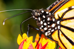 Monarch butterfly macro Stock Photo