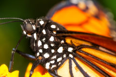 Monarch butterfly macro Royalty Free Stock Image