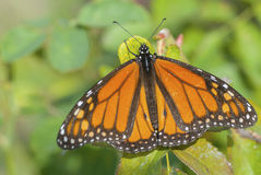 Monarch Butterfly. A macro view of a male monarch butterfly (Danaus plexippus Stock Image