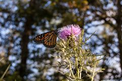 Monarch Butterfly in the Blue Ridge Mountains royalty free stock photography