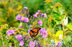 Monarch butterfly on the magenta asters stock images