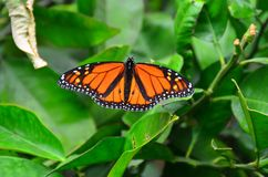Monarch Butterfly. Male Monarch butterfly sunning itself on a garden plant New Zealand royalty free stock photography