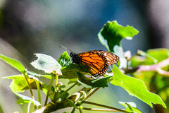 Monarch butterfly. Manaus plexippus. Monarch butterfly in forest stock image