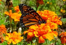Monarch butterfly. On marigold stock photography