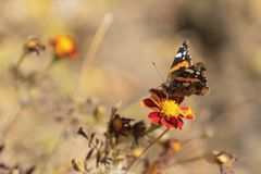 Monarch butterfly on marigold flower stock image