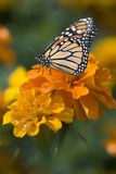 Monarch Butterfly on Marigold Flowers Stock Photos