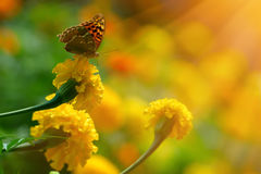 Monarch butterfly on the marigold in highkey. Monarch butterfly on the yellow marigold in highkey stock photos