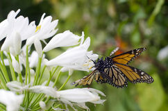 Monarch butterfly mating. A male and female Monarch butterfly are mating on a white flower during spring season stock photos