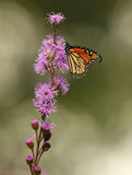 Monarch Butterfly on Meadow Blazingstar Stock Images