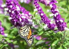 Monarch Butterfly in Mexican Sage flowers. Monarch butterfly drinking nectar from purple Mexican Sage flowers on a bright sunny day. The Monarch butterfly is royalty free stock photography