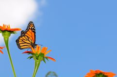 Monarch Butterfly On a Mexican Sunflower stock photography