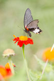 Monarch Butterfly. On a Mexican Sunflower Stock Photo
