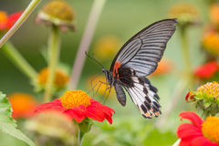 Monarch Butterfly. On a Mexican Sunflower Stock Photography
