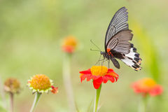Monarch Butterfly. On a Mexican Sunflower Royalty Free Stock Photos