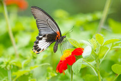 Monarch Butterfly. On a Mexican Sunflower Royalty Free Stock Image