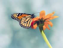 Monarch butterfly on Mexican sunflower. Monarch butterfly Danaus plexippus feeding on Mexican sunflower. Blue sky background with vintage filter effects stock images