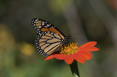 Monarch Butterfly on Mexican Sunflower Royalty Free Stock Image