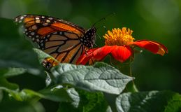 Monarch Butterfly on Mexican Sunflower. Otherwise known as torchflower royalty free stock image