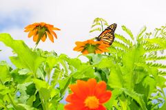 Monarch Butterfly & Mexican Sunflowers Stock Photos