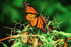 Monarch Butterfly in Michoacan Mexico mexican monarca. Insect wildlife in forest royalty free stock photography